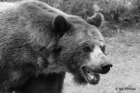 Old ephraim bear lake monster grizzly bear 3 freerunsca Gallery